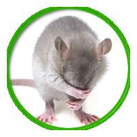 老鼠簡介防治