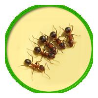 螞蟻簡介防治
